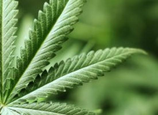 Anvisa defende regulamentação para cultivo da maconha para fins medicinais