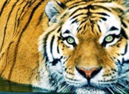 Urubus tramam dominar o tigre