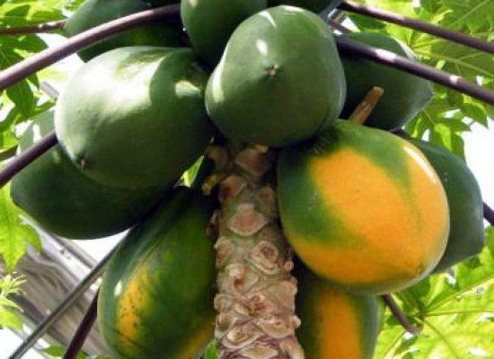 Bahia ocupa segundo lugar na produção nacional de frutas, aponta IBGE