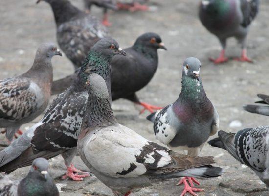 POR: *Alessandro Carvalho Bica: Isso tudo acontecendo e eu aqui na praça, Dando milho aos pombos!