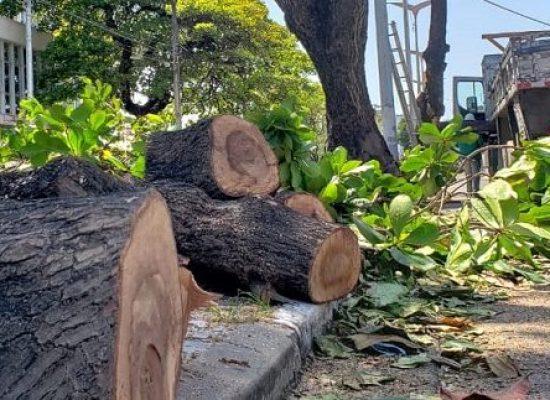 ESCUTA ILHÉUS: Projeto de Lei quer impedir corte de árvores históricas no município de Ilhéus