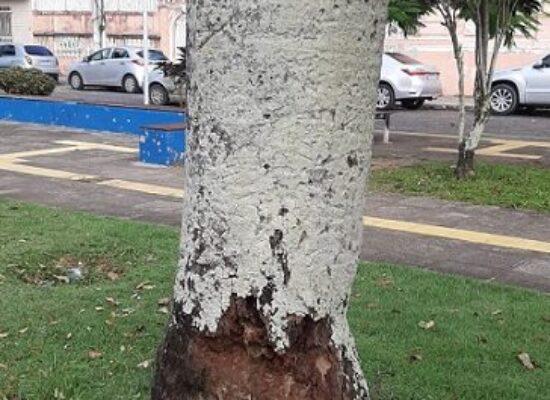 Moradores de Ilhéus temem queda de árvores e acionam prefeitura para corte de palmeiras