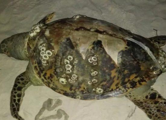 Três tartarugas são encontradas encalhadas no sul da Bahia