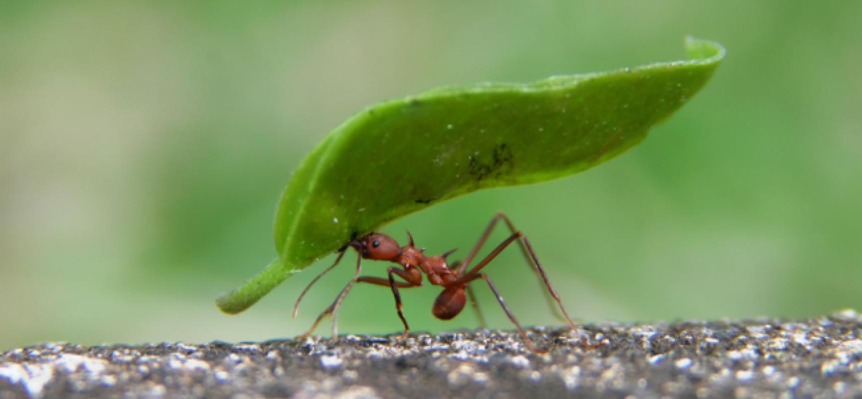 Pesquisador descobre doze novas espécies de formigas no sul da Bahia