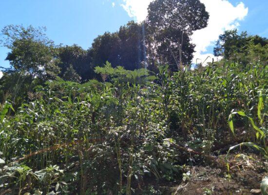 Agricultores Familiares itabunense preparam para a colheita do tradicional milho de São João