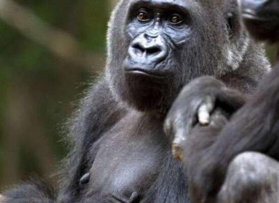 Gorilas são diagnosticados com Covid-19 em zoológico nos Estados Unidos